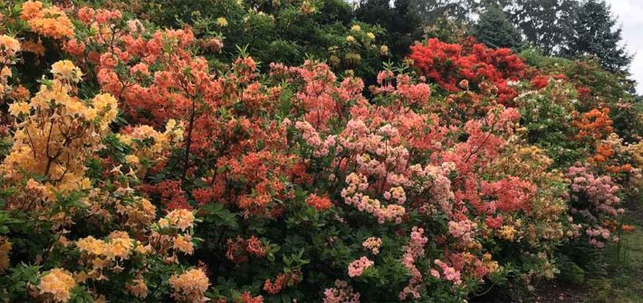 "Dandenong Ranges Botanic Garden ( formally the ""National Rhododendron Garden"" ) 