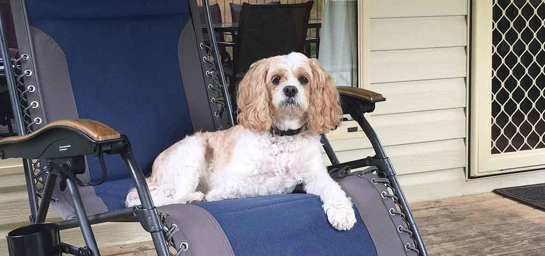 Taffee enjoying the Oztrail Sun Lounge Jumbo Chair
