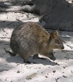 Quokka's can be found on Rottnest Island, Western Australia – a small island located off the Western Australian coast.